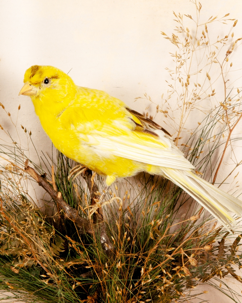 Canary by Mountney of Cardiff